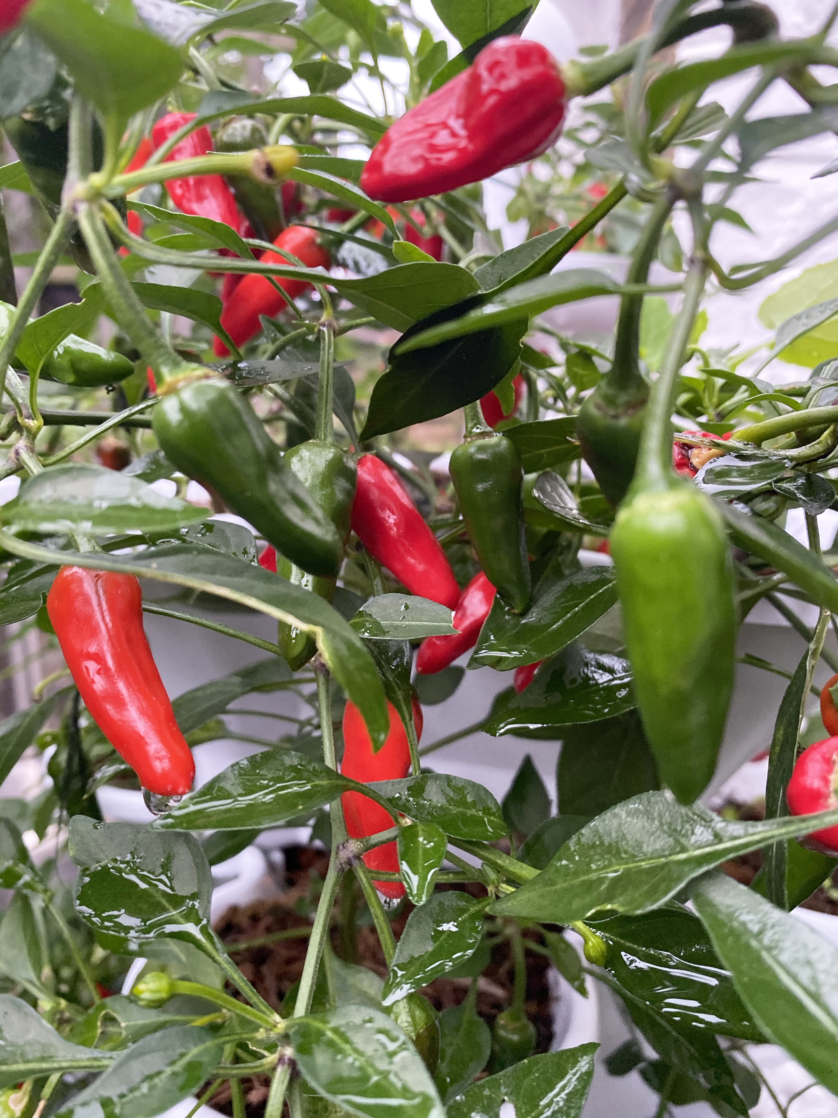 Chilli peppers will thrive in Acqua Tower