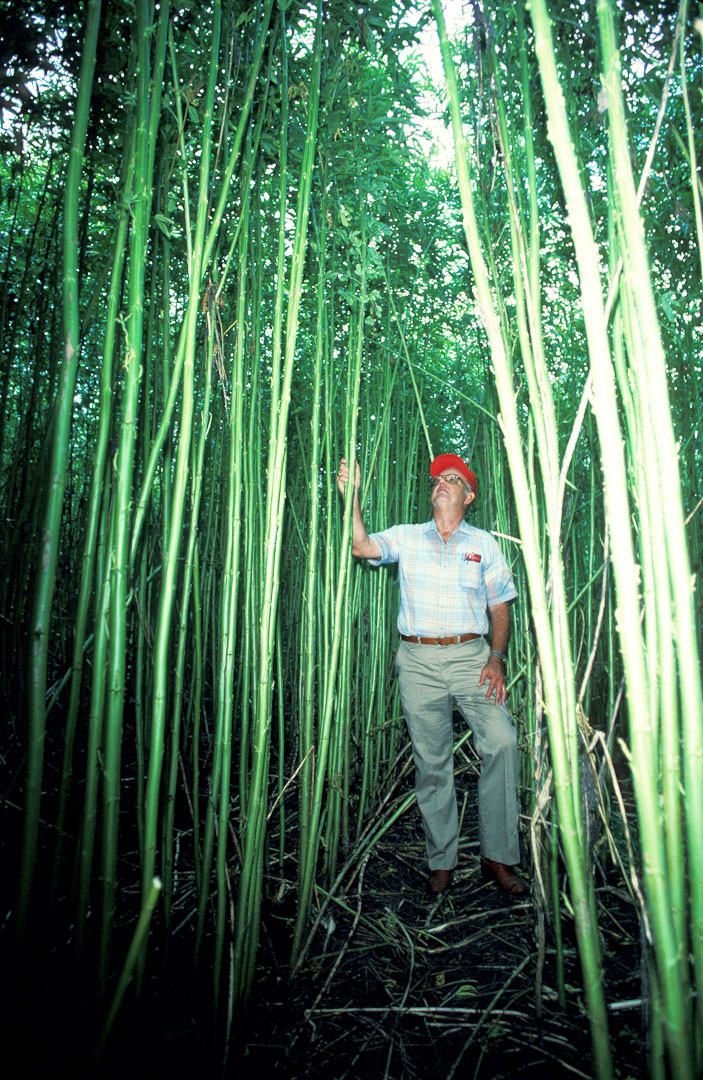 Kenaf plant growing..tall. Kenaf is grown in the US and its fibres can be woven into a coarse fabric