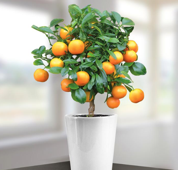 Mini orange trees are lovely and should give years of pleasure. They really are easy to look after..