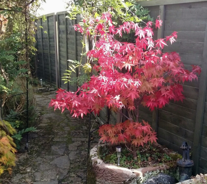 Acers are good trees to give as gifts to those with a garden