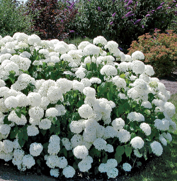 Hydrangea plants are also good because they can grow in gloomy corners of a garden