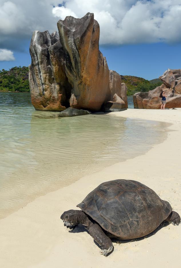 Giant turtles on the beach