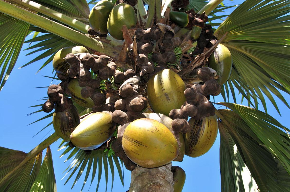 female coco de mer nuts. No they don't grow in Birmingham...
