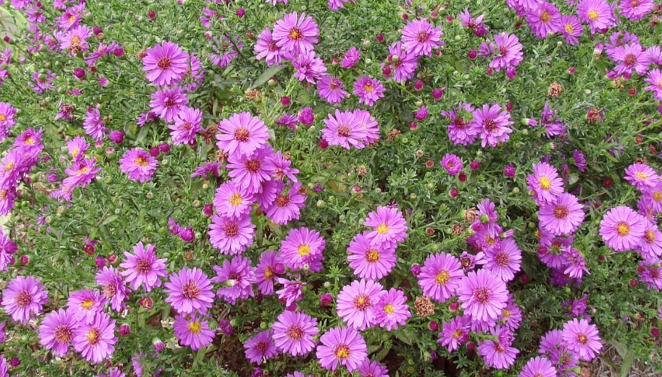 Asters - easy to grow and prolific