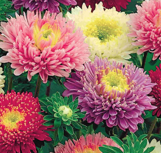 Aster Early Charm - a double aster