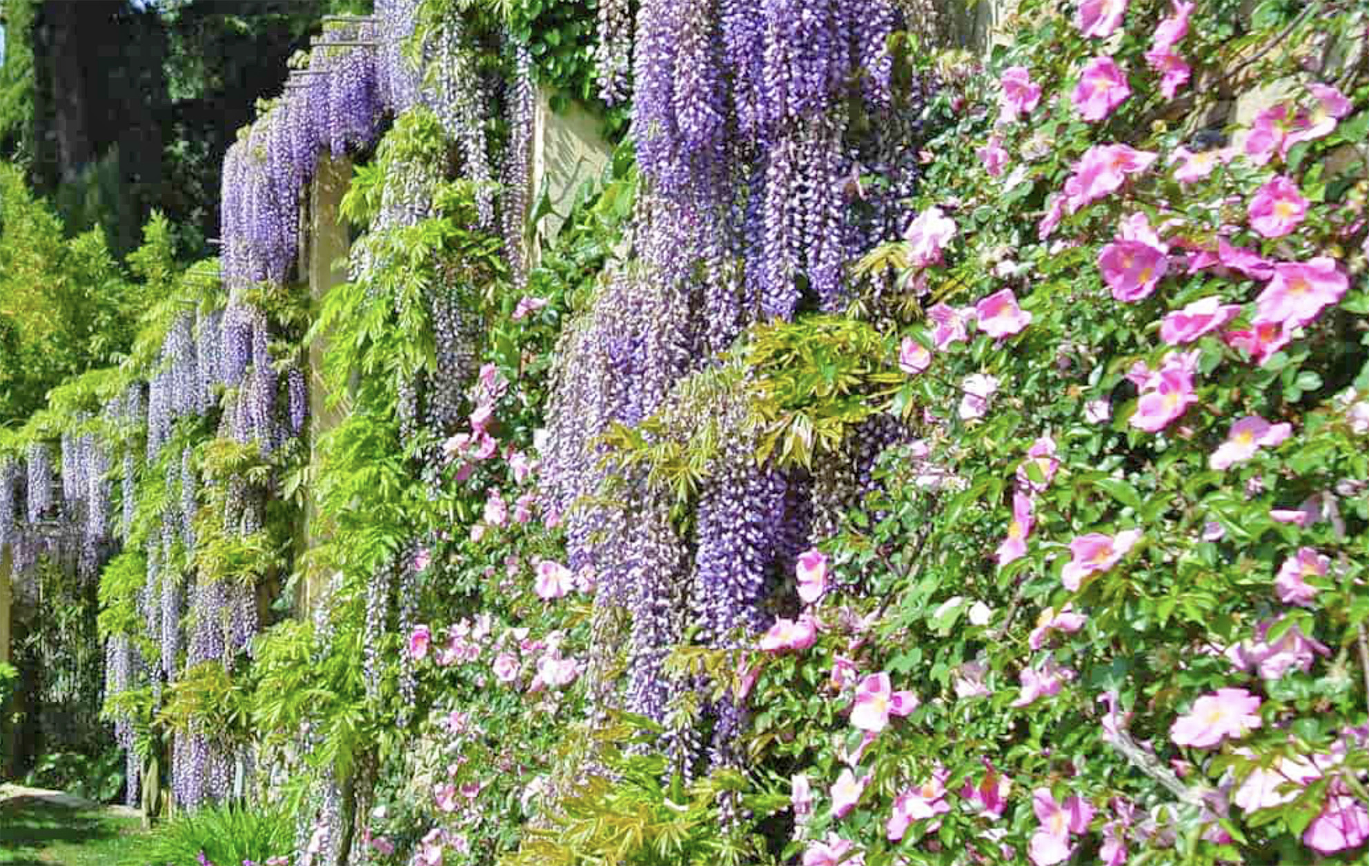 Abundance of wisteria at Alassio