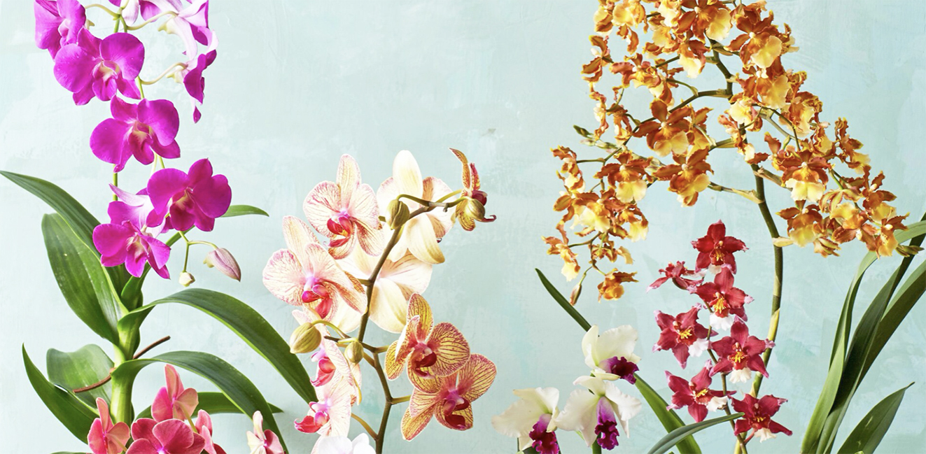 Orchids are our most beloved houseplant