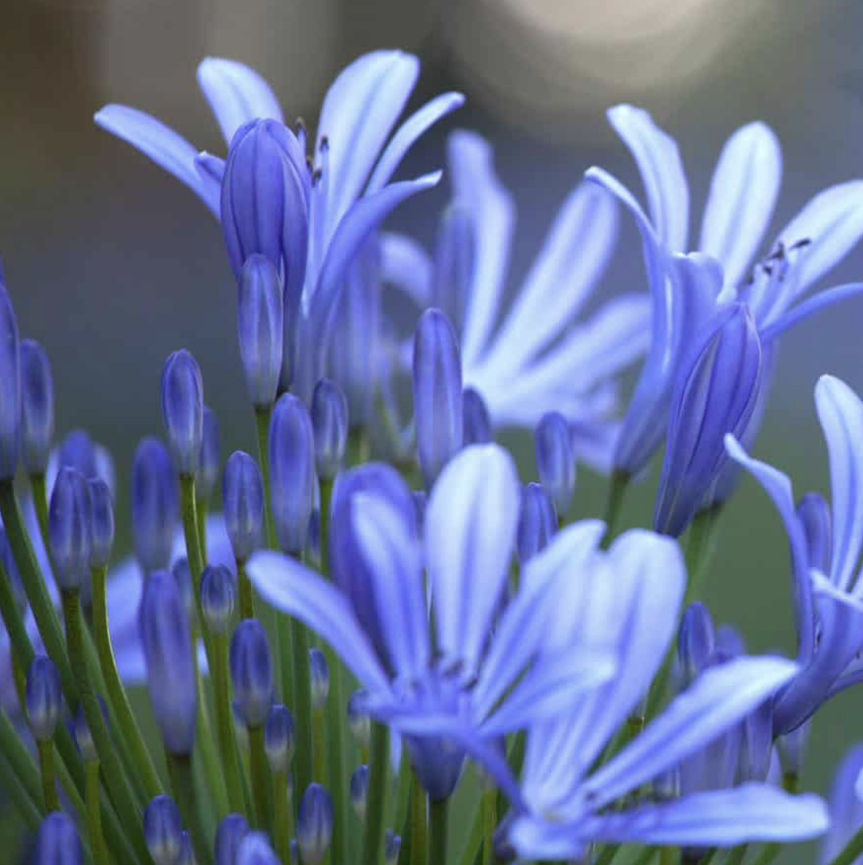 the gardens have some 400 species of agapanthus