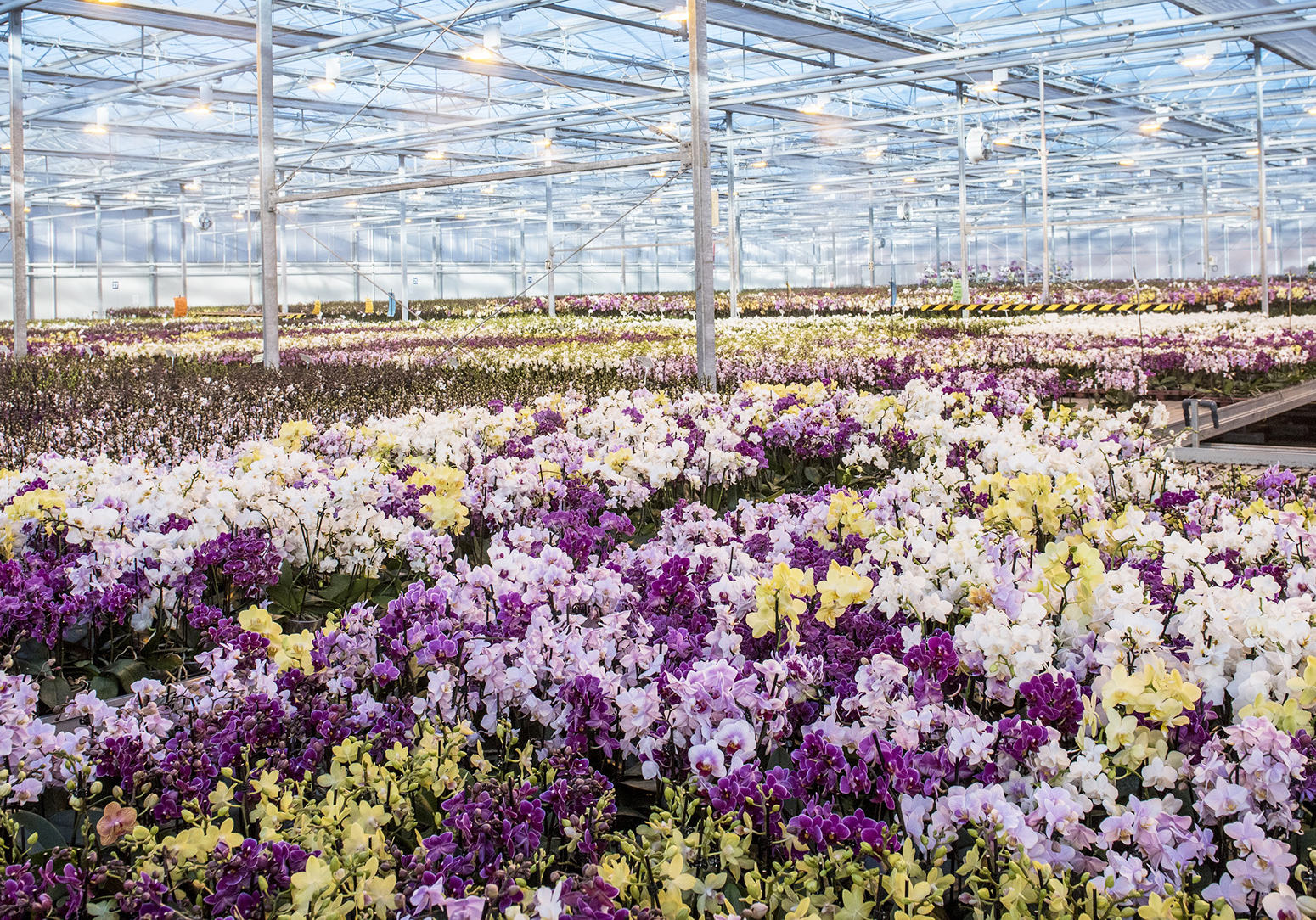 But don't dismiss supermarket orchids.. Waitrose grows its plants in the UK