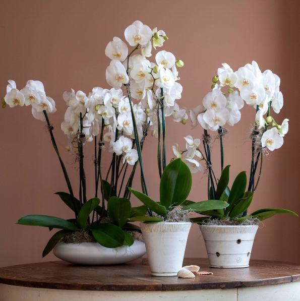 The Phalaenopsis orchid remains super super popular.