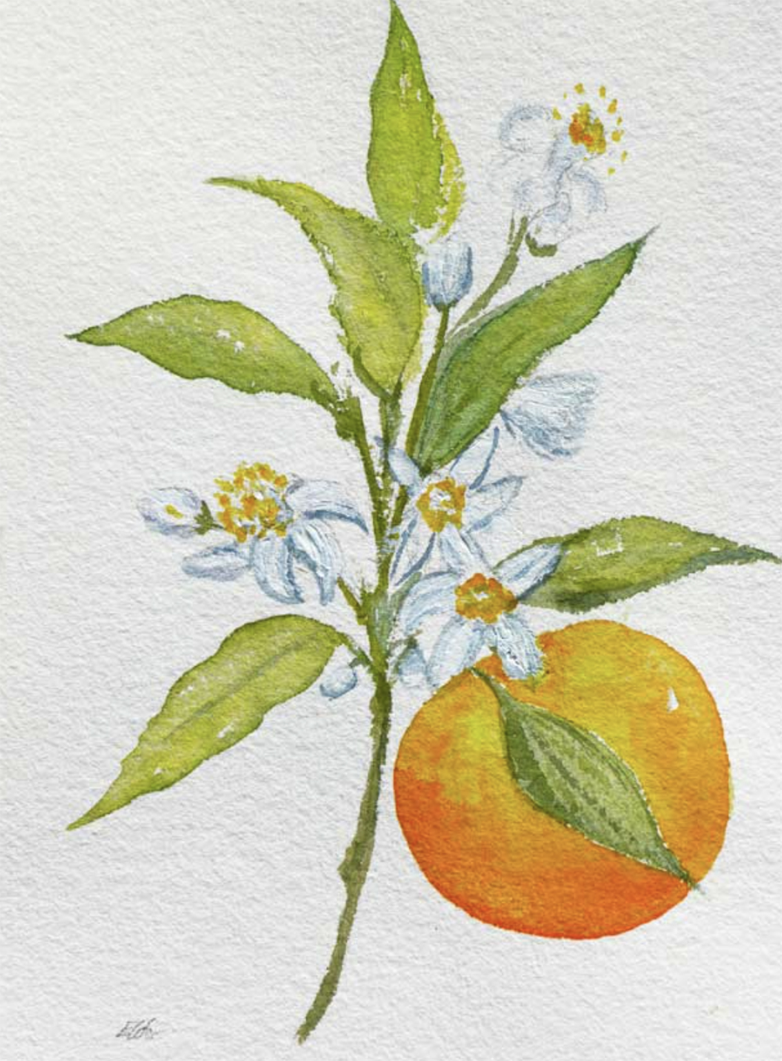Orange blossom, watercolour, Sarah Elder