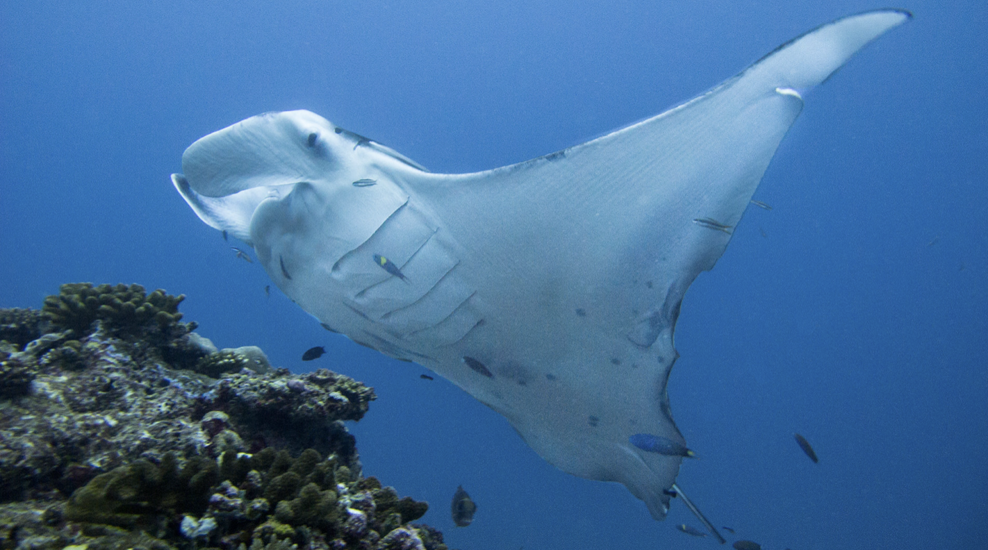 Manta rays in the Maldives waters