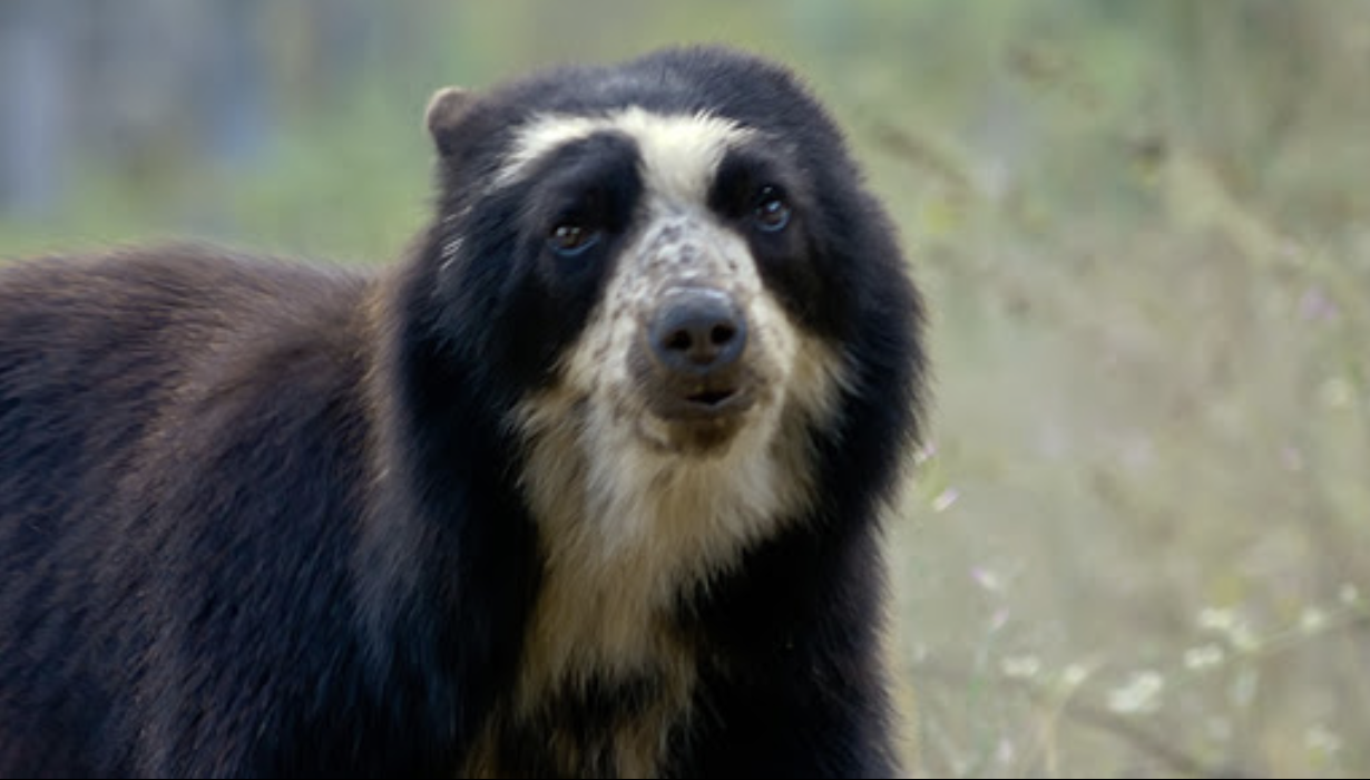 The rare spectacled bear has been seen around Machu Pichu this year