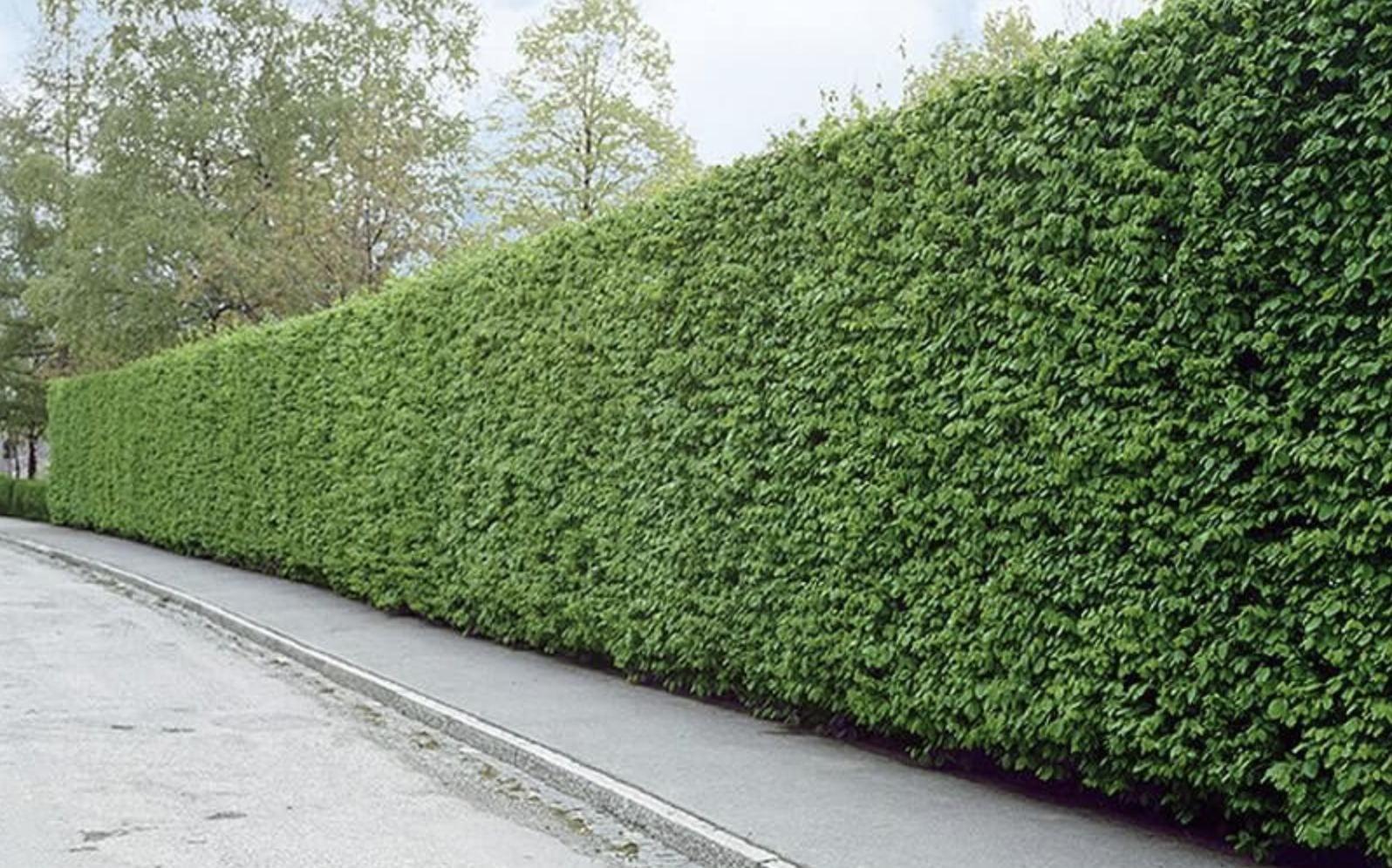 Plant hedges in cities
