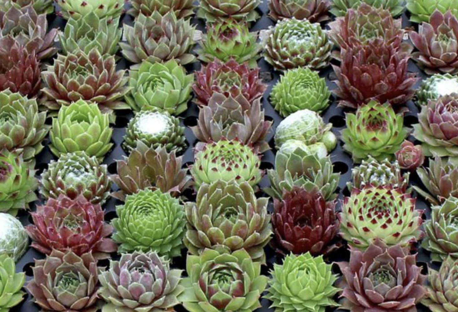 Sempevivums are popular indoor plants