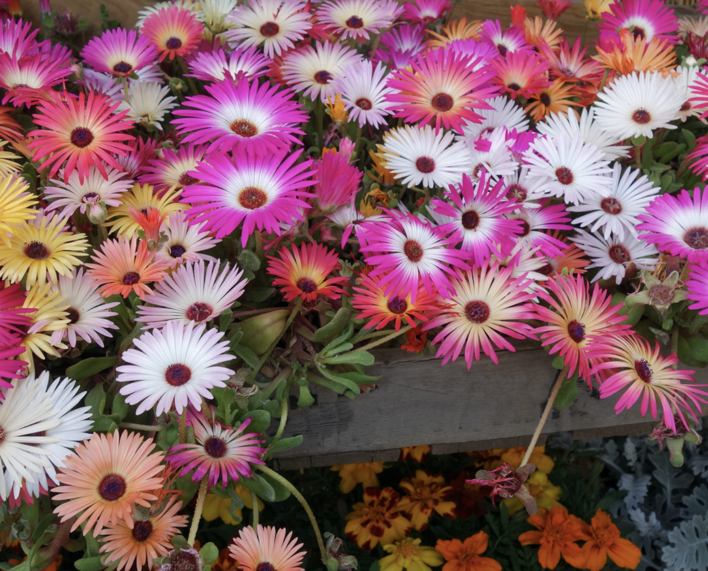 Mesembryanthemums are flowering succulents, grow them outside and in