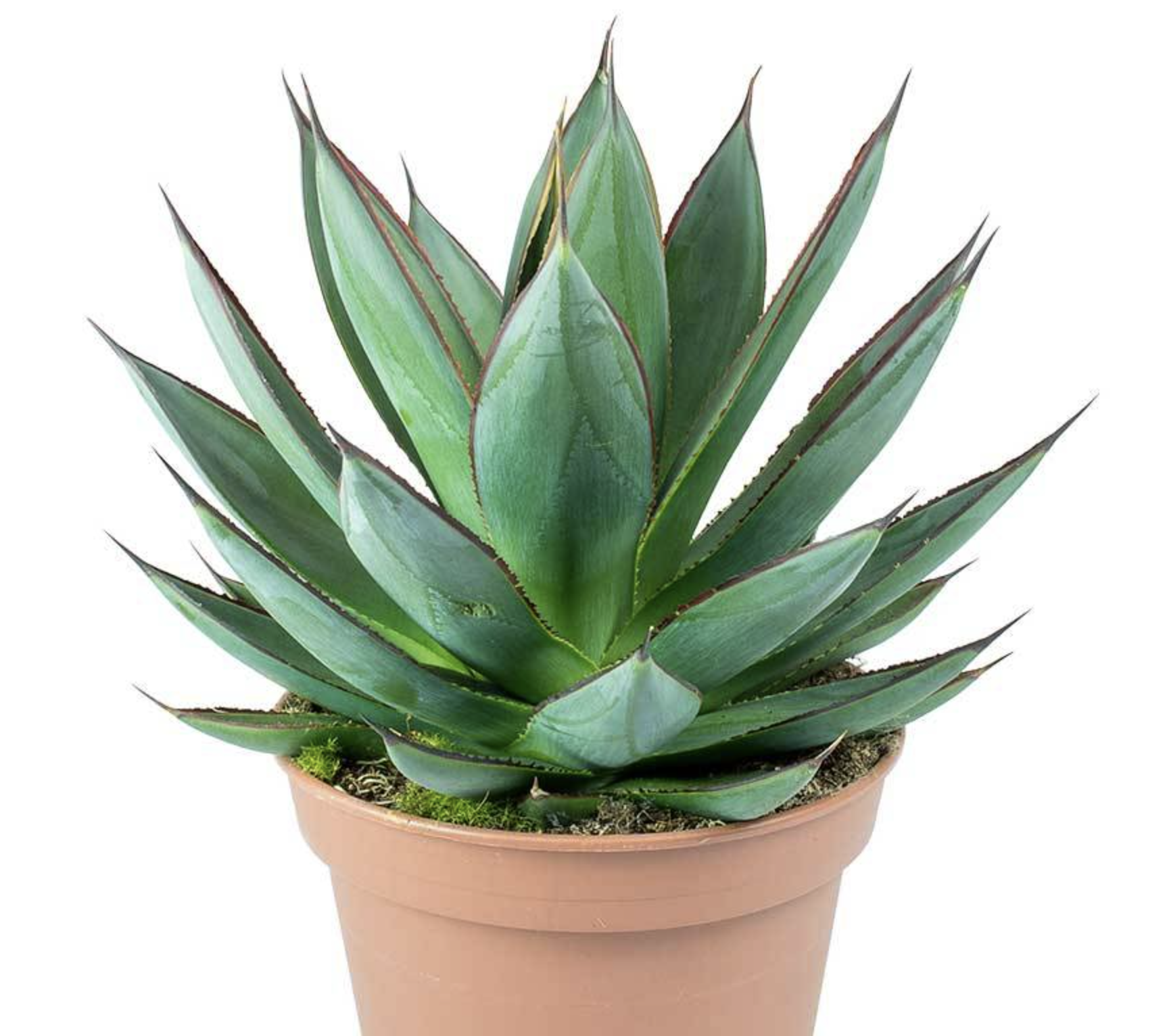 Agave shaka zulu plant