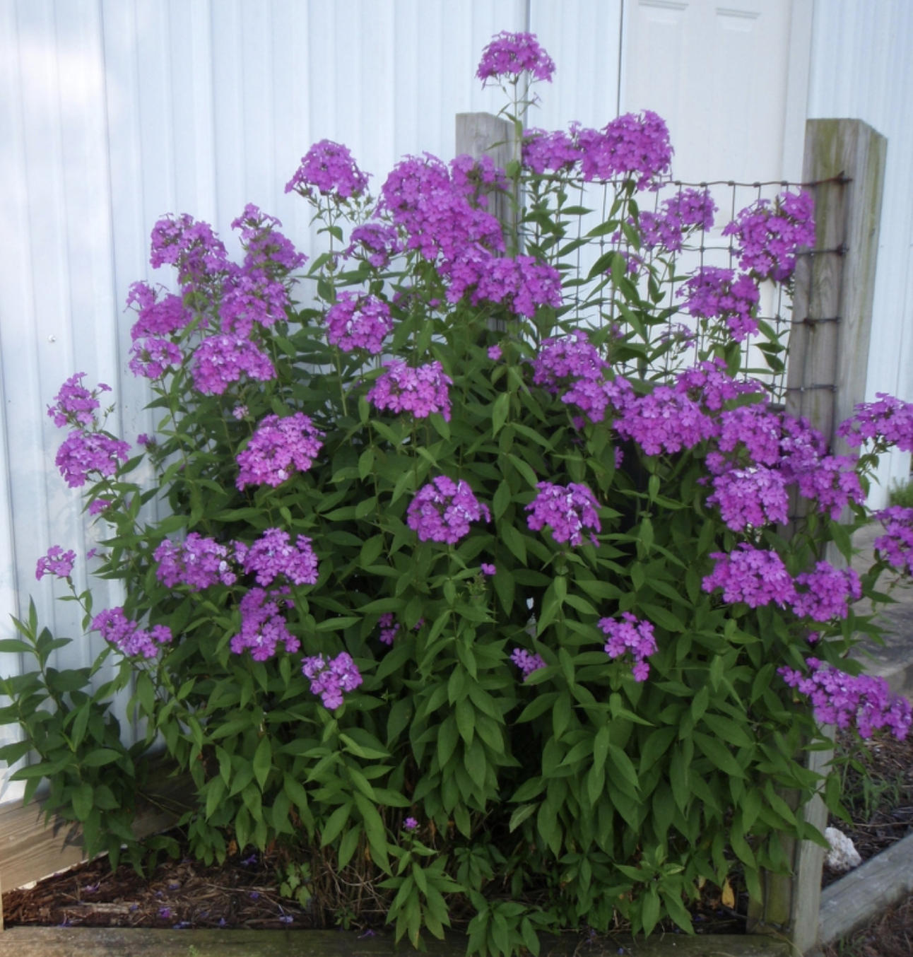 Phlox is easy to grow and you can cut stems for bunches indoors