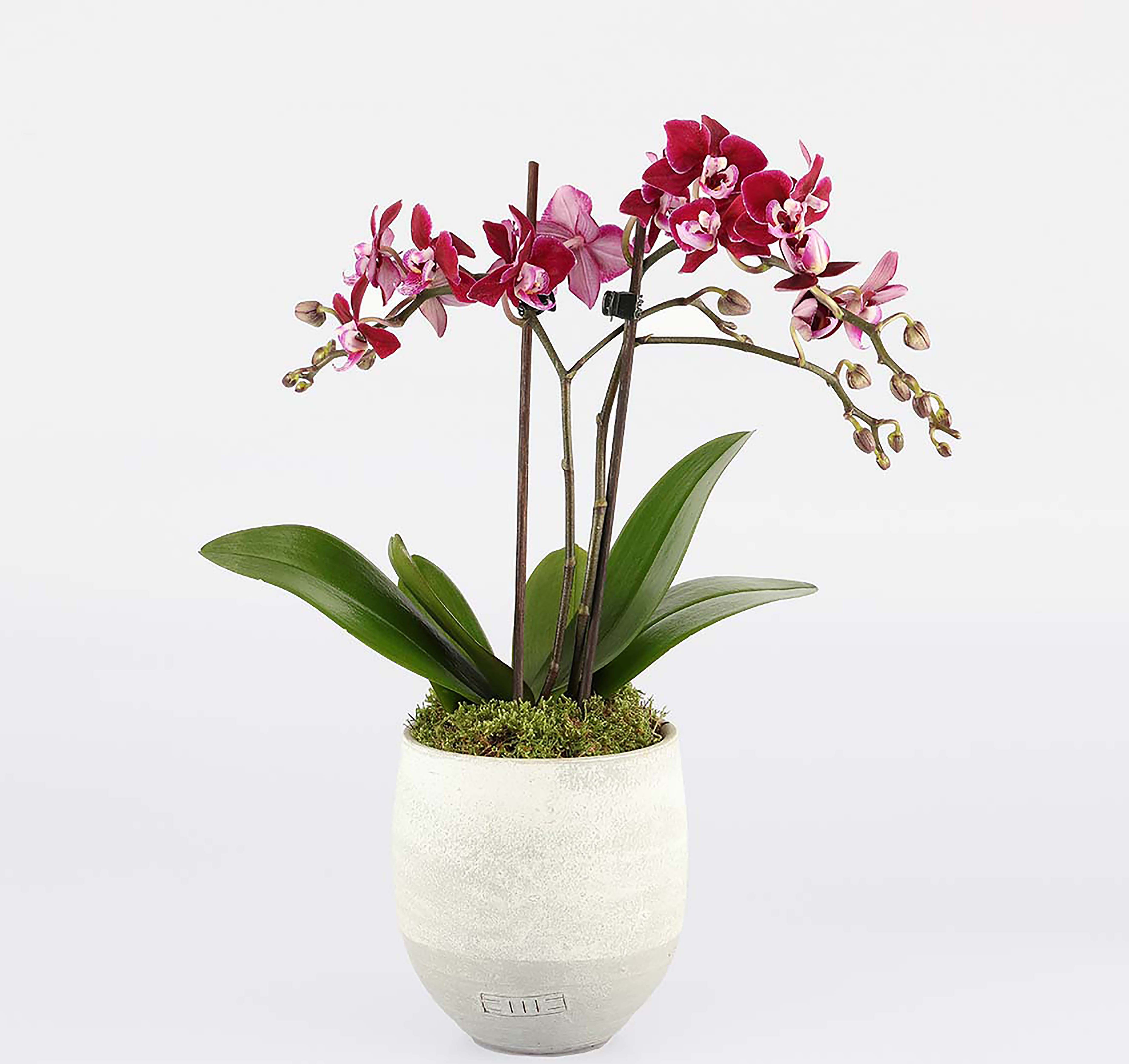 The Little Botanical Orchid, £21.99 at Dobbies