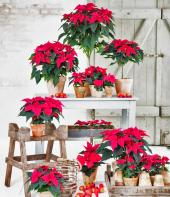 poinsettias are a lovely rich colourful flowering plant for indoors