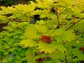 Acer palmatums are easy to grow