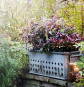 Leucothoe plants are leafy and abundant