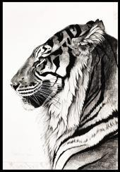 Resting Sumatran tiger by Rose Corcoran