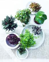 Peperomia plants come in many forms