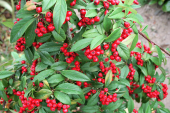 Cotoneaster Hybridus Pendulus is ideal for smaller gardens