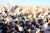 Cotton growing in Pakistan