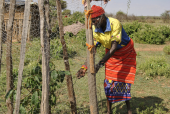 Trees planted in Kenya will help provide food and alleviate the damage caused by deforestation