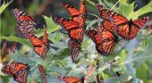 Count the butterflies in your garden