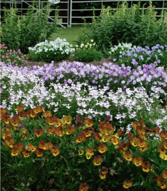 Elizabeth Macregor Nursery is famed for its violas