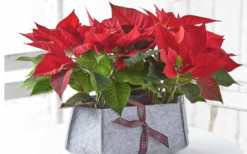 Poinsettias are perfect for Christmas colour