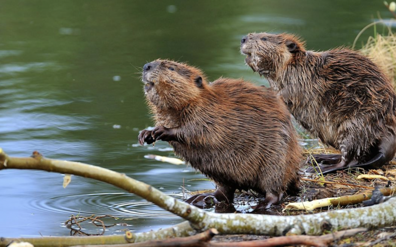 beavers mitigate flooding risks