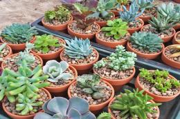 Mini succulent wedding favours come in terracotta or galvanised metal pots. blueleafplants.co.uk