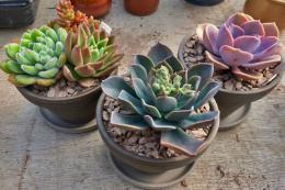 Echeverias in  chocolate terracotta pots