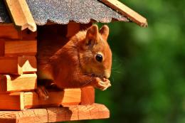 If you live in Scotland you should see red squirrels out and about