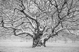 The Oak after the Snow Storm by Roy Wright