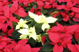 don't let poinsettias sit in a very cold spot