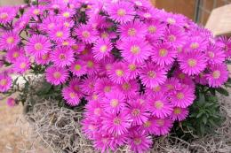 Cluster of pretty pink Asters