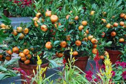 Orange trees in pots make a patio look wonderful
