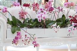 Phalaenopsis or moth orchid is widely known much loved