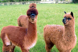 Britain is home to around 400,000 alpacas and their fleeces are ideal for duvets