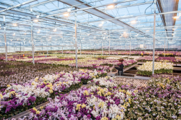 Waitrose' orchids are grown in the UK