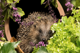 Hedgehogs need sheltered spots in a garden
