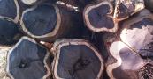 Ebony is a hardwood that has been logged so heavily it's now critically endangered