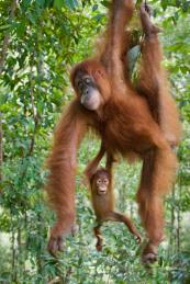 Orangutans in Gunung Leuser National Park in Sumatra, Indonesia. Photo by Suzi Eszterhas