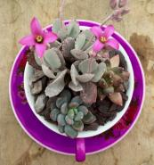 Take a bright pink teacup and saucer and add Kalancoe pumila. blueleafplants.co.uk