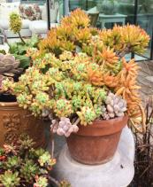 Orange and green sedums on a roof garden